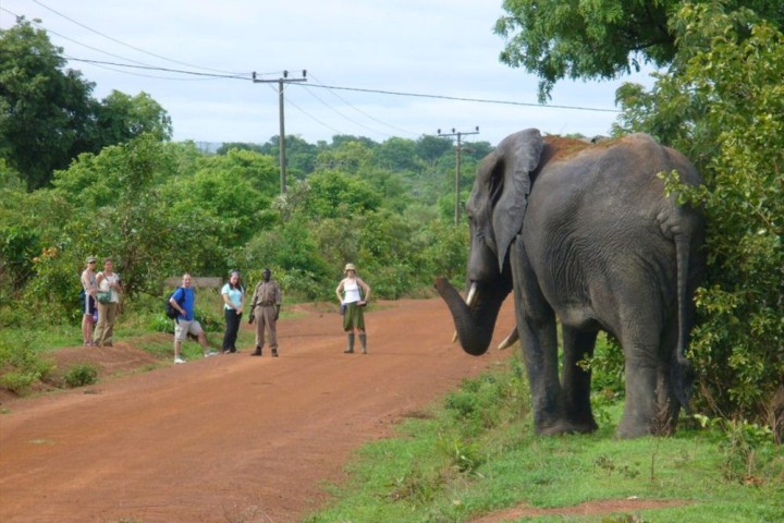 Elephant at mole national park